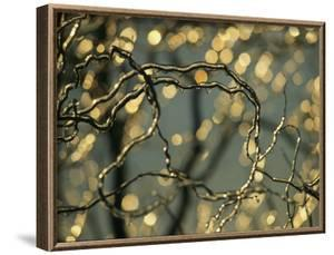Frozen Twigs of a Corkscrew Willow Sparkle in the Sunlight by Raymond Gehman