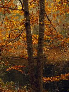 Leaves Fall from Beech Tree Along the Obed Wild and Scenic River by Raymond Gehman