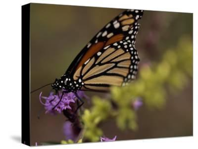 Monarch Butterfly Sipping Nectar from a Wildflower