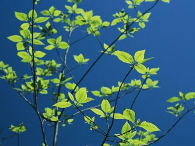 New Spring Foliage Leafing out on a Tree Branch