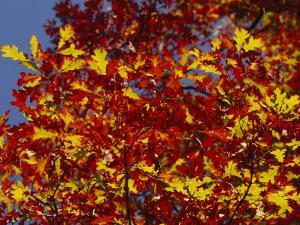 Oak Leaves in Fall Colors Against a Bright Blue Sky by Raymond Gehman