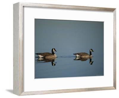 Pair of Canada Geese (Branta Canadensis)