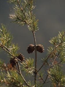 Pine Cones at the Top of a Small Pine Tree by Raymond Gehman
