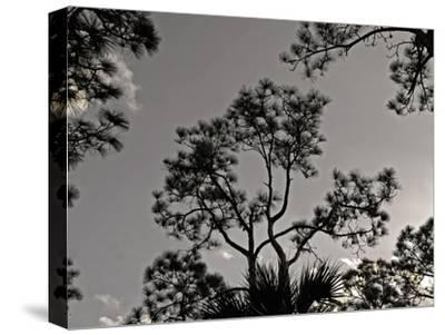 Pine Trees are Silhouetted Against a Clear Afternoon Sky
