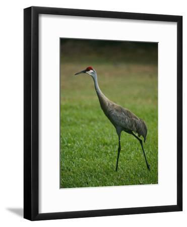 Portrait of a Sandhill Crane Strutting Through a Grassy Field