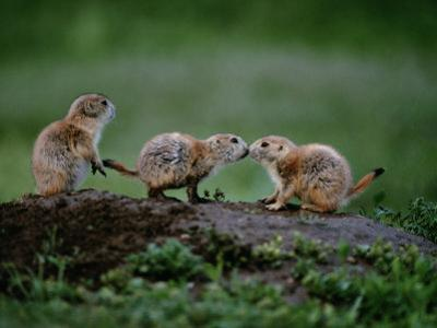 Prairie Dogs Touch Noses in a Possible Prelude to Kin Recognition by Raymond Gehman