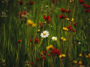Red and Yellow Wildflowers Bloom Around a Wild Daisy by Raymond Gehman