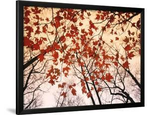 Red Maple and Autumn Sky by Raymond Gehman