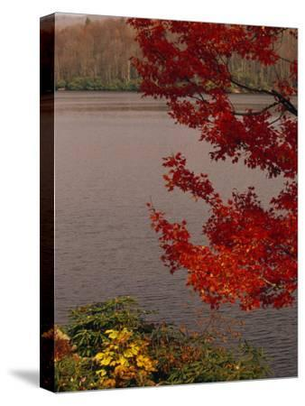 Red Maple Tree and Rhododendrons on the Shore of Price Lake