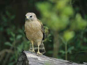 Red-Shouldered Hawk Perched on a Fallen Log by Raymond Gehman