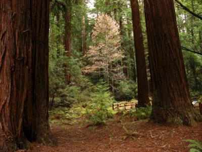 Redwoods and Trail in Muir Woods National Monument, California by Raymond Gehman