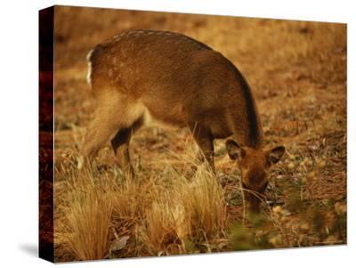 Sika Deer Foraging Among Grasses