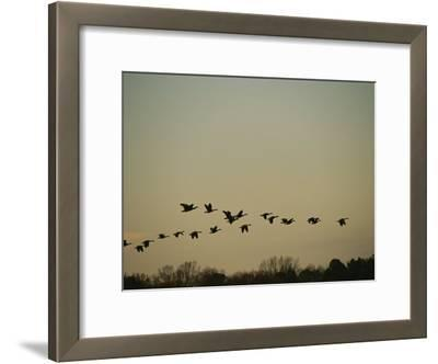 Silhouetted Canada Geese Flying in Formation at Twilight