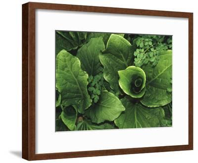 Skunk Cabbage in a Bog
