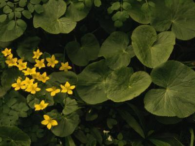 Small Yellow Flowers Growing Among Lush Foliage by Raymond Gehman