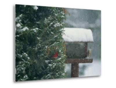 Snow Falls on a Male Cardinal in an Evergreen Tree