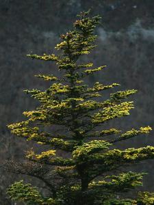 Spruce Tree Along Skyline Drive by Raymond Gehman