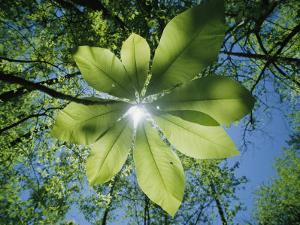 Sunlight Filters Through the Leaves of an Umbrella Tree by Raymond Gehman
