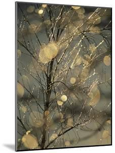 The Frozen Branches of a Small Birch Tree Sparkle in the Sunlight, Waynesboro, Pennsylvania by Raymond Gehman