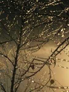 The Frozen Branches of a Small Birch Tree Sparkle in the Sunlight by Raymond Gehman