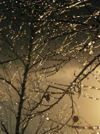 The Frozen Branches of a Small Birch Tree Sparkle in the Sunlight