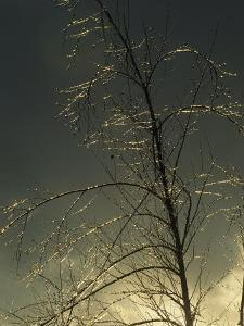 The Frozen Branches of a Small Tree Sparkle in the Sunlight, Waynesboro, Pennsylvania by Raymond Gehman