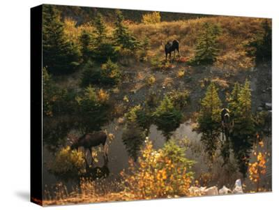 Three Bull Moose (Alces Alces) Feed Together in the Fall