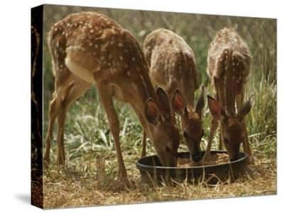 Three White-Tailed Deer Fawns (Odocoileus Virginianus) Eat from a Bowl of Grain