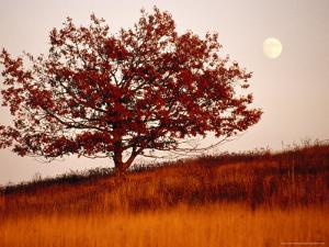 Tree in Autumn Foliage on a Grassy Hillside with Moon Rising Over All by Raymond Gehman