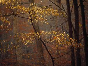 Trees in Autumn Hues in a Foggy Forest by Raymond Gehman