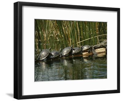 Turtles Line Up on the Safe Side of an Alligator