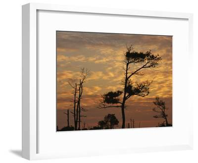 Twilight View of Silhouetted Loblolly Pines on a Marsh Trail
