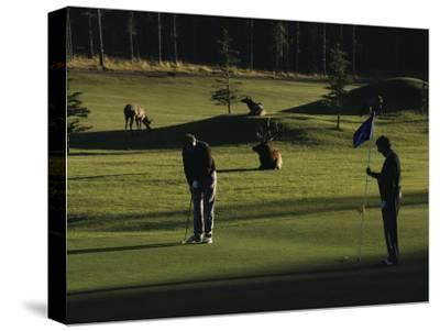 Two People Play Golf While Elk Graze on the Golf Course