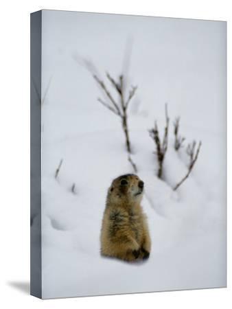 Utah Prairie Dog Pokes Through Heavy Snow
