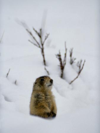 Utah Prairie Dog Pokes Through Heavy Snow by Raymond Gehman