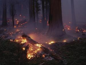 View of a Controlled Fire in a Stand of Giant Sequoia Trees by Raymond Gehman