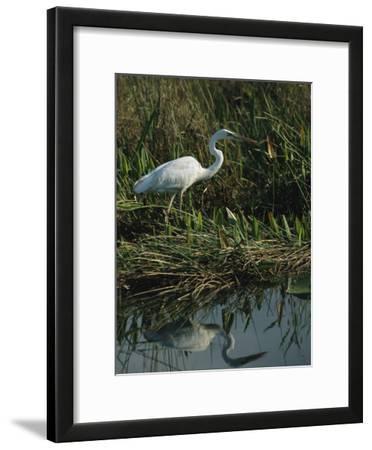 White Great Blue Heron in Pickerel Weeds and Marsh Reeds