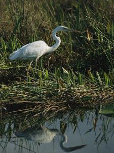 White Great Blue Heron in Pickerel Weeds and Marsh Reeds by Raymond Gehman