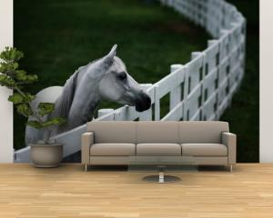 White Horse Staring over a Wooden Fence by Raymond Gehman