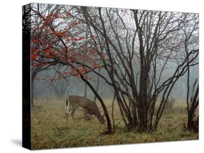 White-Tailed Deer Forages Near a Serviceberry Tree