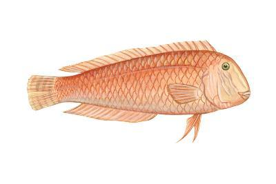 Razorfish (Xyrichthys Psittacus), Fishes-Encyclopaedia Britannica-Art Print