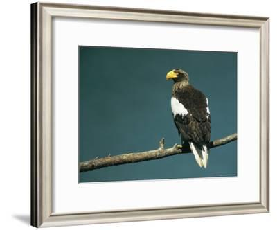 Rear View of a Stellers Sea Eagle Perched on the Branch of a Tree-Klaus Nigge-Framed Photographic Print