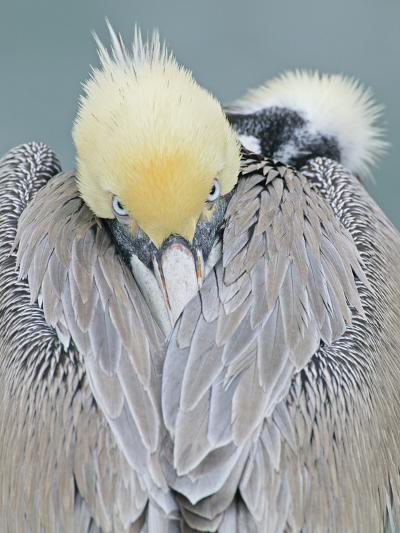 Rear View of Brown Pelican Adult, La Jolla, California, USA-Arthur Morris-Photographic Print