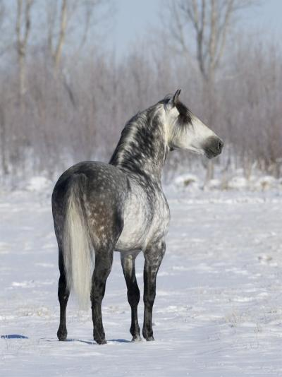 Rear View of Grey Andalusian Stallion Standing in Snow, Longmont, Colorado, USA-Carol Walker-Photographic Print