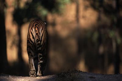 Rear View of Male Bengal Tiger Walking {Panthera Tigris Tigris} Kanha Np, India-Nick Garbutt-Photographic Print