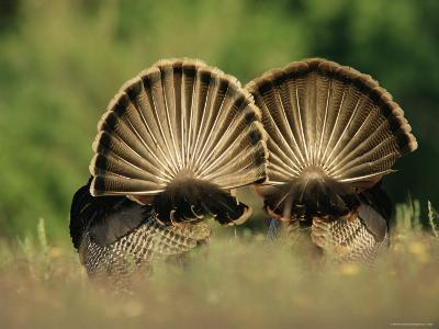 Rear View of Male Wild Turkey Tail Feathers During Display, Texas, USA-Rolf Nussbaumer-Photographic Print