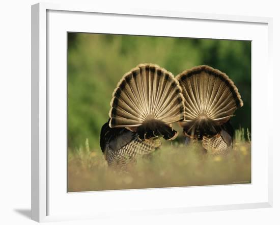 Rear View of Male Wild Turkey Tail Feathers During Display, Texas, USA-Rolf Nussbaumer-Framed Photographic Print