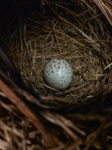 A House Sparrow Nest and Egg by Rebecca Hale