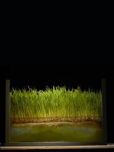 Algae Color the Water Beneath a Mat of Wheatgrass Roots by Rebecca Hale