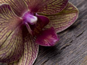 An Orchid Close Up on a Barn Wood Background by Rebecca Hale